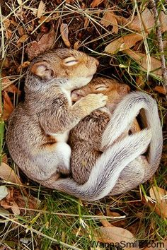 Squirrel Curl