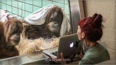 Orangutan dating experiment apes humans' Tinder Scientists at the Apenhuel Primate Park in Apeldoorn, the Netherlands, hope to increase the chances of successful breeding by using a tablet to show Samboja, the zoo's 11-year-old female orangutan, pictures of available males from an international breeding program, according to the Guardian.  --------------------------------------------------------------------------------------------------------- #dating #relationships #animals #funny ..