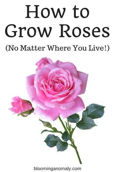 , Do you want to learn how to grow roses, no matter where you live? This post goes. , Do you want to learn how to grow roses, no matter where you live? This post goes into detail about popular types of roses to grow and how to care for . Rose Bush Care, Rose Care, Gardening For Beginners, Gardening Tips, Flower Gardening, Gardening Vegetables, Gardening Supplies, Comment Planter Des Roses, Popular Flowers