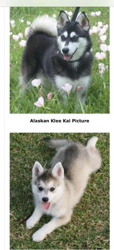 Alaskan Klee Kai adult and puppy Dog Lover Gifts, Dog Gifts, Dog Lovers, Alaskan Klee Kai, Dog Breeds, Husky, Cute Animals, Puppies, Dogs