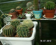 Kaktukset: hoito-ohjeita