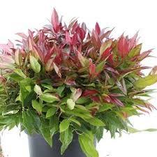 leucothoe zeblid - Google Zoeken Google, Plants, Plant, Planets