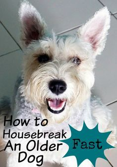 You can teach an old dog new tricks, even if he's never been potty trained! Check out tips on how to housebreak an older dog fast!