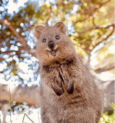 Rare Animals, Happy Animals, Animals And Pets, Funny Animals, Super Cute Animals, Cute Little Animals, Quokka Animal, All Animals Pictures, Australia Animals