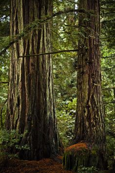 Northern California's redwoods. Ubiquitous in the Russian River Valley.