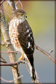 Sharp-shinned Hawk Back Again