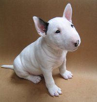 Cute little miniature bull terrier puppy.  I will have one of these...eventually.