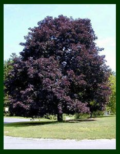 Photo of Norway Maple 'Crimson King' with dark red-purple leaves.