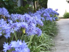 A row-long planting of Thunder Storm agapanthus welcomes visitors to this home.