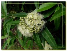 You would not know what plant it is until you crush and smell the leaf - it has a strong and nice smell of citrus. Of course, - Backhousia citriodora !  :-) Lemon myrtle -  small to medium size tree,  native to Australia,  Myrtaceae family - relative to Eucalyptus, but really looks different.