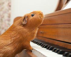 Are Guinea Pigs Really Pigs? | Wonderopolis