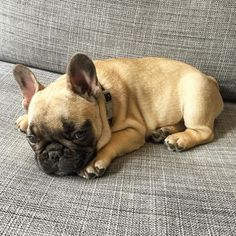 Breakfast at Yurman's, French Bulldog Puppy