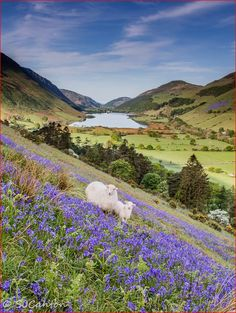 ...the sheep in the meadow... Talyllyn Valley
