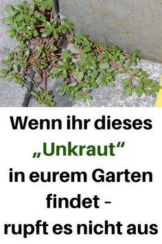 "If you find this ""weed"" in your garden - pluck it .- Wenn ihr dieses ""Unkraut"" in eurem Garten findet – rupft es nicht aus If you find this ""weed"" in your garden – do not pluck it - Garden Care, Container Gardening Vegetables, Vegetable Garden, House Plant Care, House Plants, Organic Gardening, Gardening Tips, Ground Cover Plants, Foliage Plants"