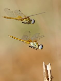 Dragonflies by Antonio Diaz Flying Insects, Bugs And Insects, Beautiful Bugs, Beautiful Butterflies, Antonio Diaz, Mantis Religiosa, Dragonfly Art, Dragonfly Quotes, Gossamer Wings