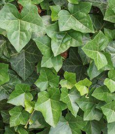 Le lierre ou LA plante anti-pollution : Ces plantes vertes qui dépolluent votre intérieur - Linternaute
