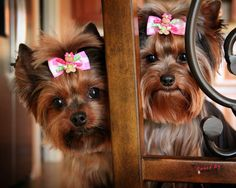 Check Out Yorkshire Terrier Puppy Black Yorkies, Yorkie Puppy, Beautiful Dogs, Animals Beautiful, Cute Animals, Baby Animals, Chien Yorkshire Terrier, Cute Puppies, Cute Dogs
