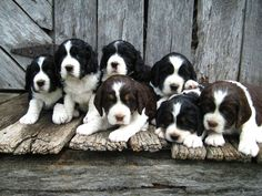 Springer Spaniels.... The most amazing dog in the world - ever!