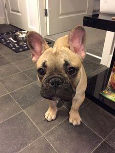 Nutmeg, the French Bulldog ❤️