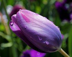 Purple Tulips, Purple Haze, Shades Of Black, Shades Of Purple, Black Hd Wallpaper, Tulip Colors, All Things Purple, Summer Flowers, Fine Art America