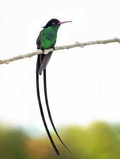 The Hummingbird.. Jamaica's national bird