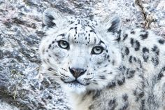 It is difficult to spot the Snow Leopard when it is in their right habitat, and even when they are in captivity. I photoed this endangered specie at Nordens Ark, Sweden.
