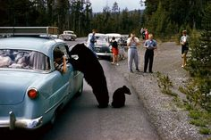 Photo: Bear looking into a car