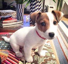 The perfect little dog.-The perfect little dog. The perfect little dog. Jack Russell Puppies, Jack Russell Terrier, Jack Russell Mix, Funny Animal Pictures, Dog Pictures, Baby Dogs, Baby Puppies, Doggies, Cute Puppies