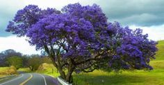 Crater Road - Kula, Maui. Jacaranda tree planted by Manduke Baldwin as a lovesake gift to his wife, so she could see a splash of heaven at every turn on the way up the mountain to their home. Ahhh romance!