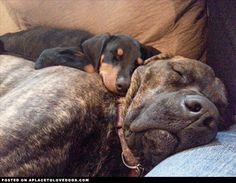New Doberman Puppy and Boxer Mastif are sleeping buddies I Love Dogs, Cute Dogs, Puppy Find, Doberman Love, Dog Lady, Rat Terriers, Dog Rules, Doberman Pinscher, Mans Best Friend