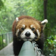 Relax and enjoy your Sunday like this guy is. Red Panda. Pic by James Bellwaters via @adventuresinpics
