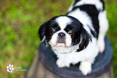 Petfinder  Adoptable | Dog | Japanese Chin | Cary, NC | Milo