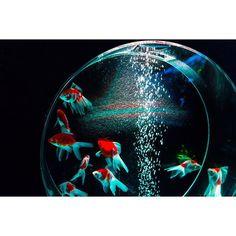 【shima_p_】さんのInstagramをピンしています。 《ミヤテレアクアリウム🐠 . アクアリウム、一時期ほんとにやりたくて調べまくった時期がありました..👶🏻 . 金魚から始めてみようか..? . 朱文金、渋くてカッコ良かったなー🐟 . パンダ金魚、気になる🐼🐟😳 . . . . . . My Work 👇 👇  @cs_shimaura  気軽にフォローよろしくお願いします👨 . . . #宮城 #miyagi #仙台 #sendai #美容師 #一眼レフ #写真 #photo #canon #キャノン #シグマ #eos60d #sigma #sigma1835 #1835mm #1835 #loves_nippon #写真撮ってる人と繋がりたい #写真好きな人と繋がりたい #ファインダー越しの私の世界 #ミヤテレアクアリウム #アクアリウム》