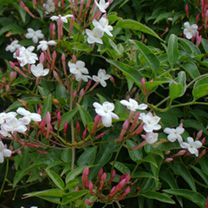 Jasminum Plant - Officinale Affine