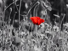 #poppy #coloursplash #alanya #mahmutlar #turkey #cameracentreuk #blackwhitephotography #remberanceday #field #flowers #red #summer