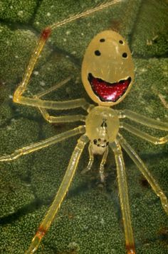 The Happy-Face spider is found in the rainforests of the Hawaiian islands. The tiny arachnid is just a few millimetres big and said to be harmless to humans Mirror Spider, Spiders And Snakes, Cool Bugs, Itsy Bitsy Spider, Jumping Spider, Beautiful Bugs, Bugs And Insects, Mundo Animal, All Gods Creatures