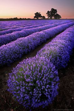 Rows of lavender - That I wanna see for my self! France here I come...some day...