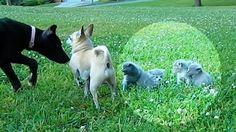 Il chihuahua protegge i gattini da un cane un po' troppo esuberante.
