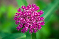 Purple Milkweed by Bob Patton on 500px