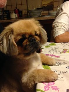 This is exactly what my peke Bear does at the dinner table!