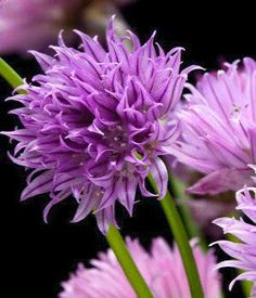 Purple flower names enlisted with a beautiful photo gallery chives onion chives common chives scientific name allium schoenoprasum plant type perennial blooming late spring to early summer mightylinksfo