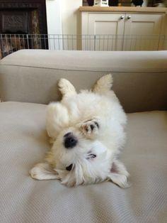 #oscar #puppy #11weeks