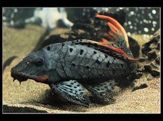 Beautiful! Pseudacanthicus sp. (L025) #tropicalfishaquariumideas
