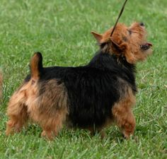 Highwood Norwich Kennel: Knowlton A. Reynders, owner, breeder, exhibitor, judge Norfolk Terrier Puppies, Jordan Baker, Dogs, Pet Dogs, Doggies