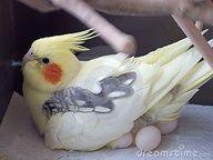 mommy cockatiel
