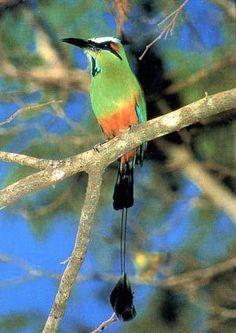 Guardabarranco ( de Nicaragua)