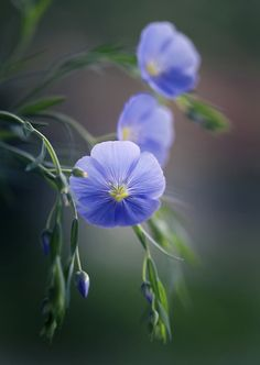 Linum by Mycatherina All Flowers, Purple Flowers, Beautiful Flowers, Pansies, Tulips, Bokeh Photography, Gras, Beautiful Gardens, Planting Flowers