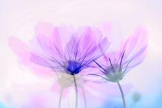 かさなりあうコスモスの花(フォトモンタージュ)かさなりあうコスモスの花(フォトモンタージュ)