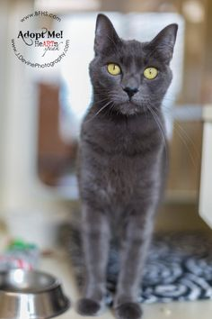 Meet Faith, a Petfinder adoptable Domestic Short Hair-gray Cat | Kennewick, WA | Intake date:    2/5/2015Adoption Fee: $ 25.00Type: CatBreed: DSHColor: GrayCoat: ShortGender:...