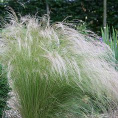 Stipa tenuifolia ) Stipa tenuissima - Lovely architectural Grass: Delivery by Waitrose Garden Perennial Grasses, Perennial Vegetables, Ornamental Grasses, Shade Perennials, Flowers Perennials, Buy Plants, Garden Plants, Flowering Plants, Shade Plants